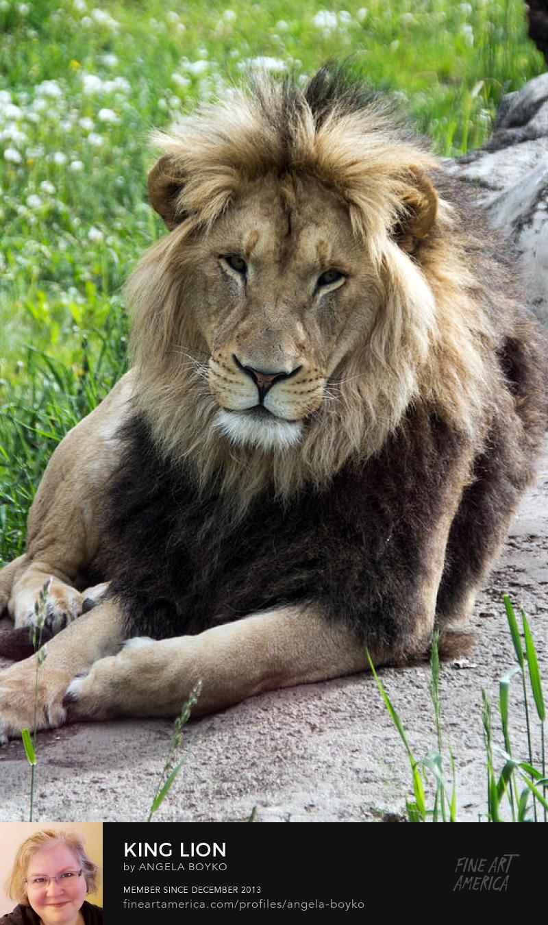 image lion photograph color