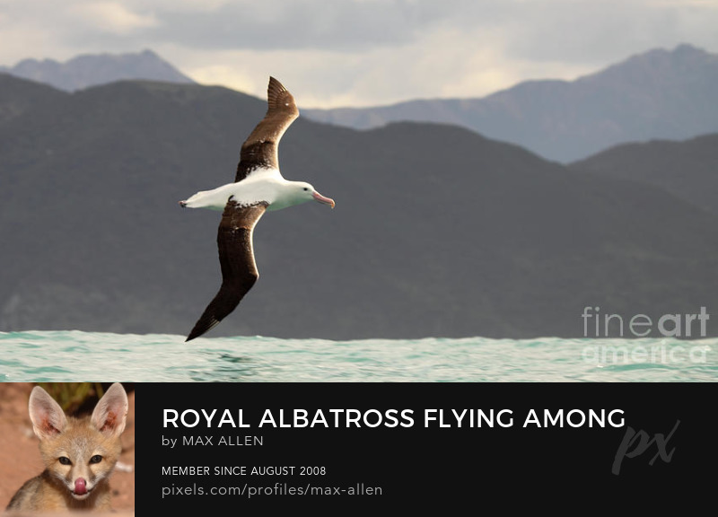 Royal Albatross flying among mountains