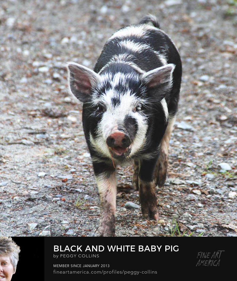 black and white baby pig by peggy collins