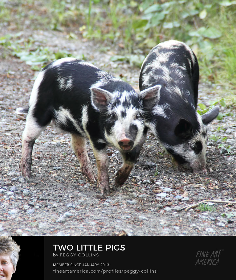 two little pigs by peggy collins