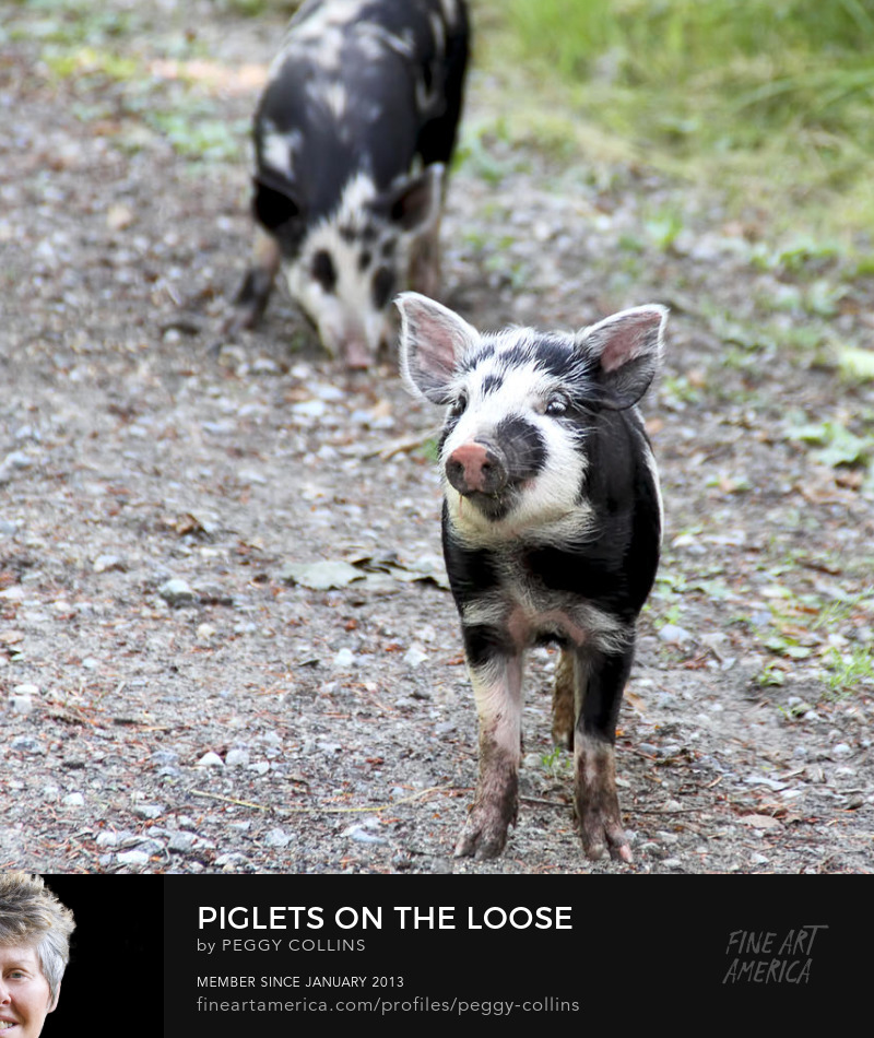 piglets on the loose by peggy collins