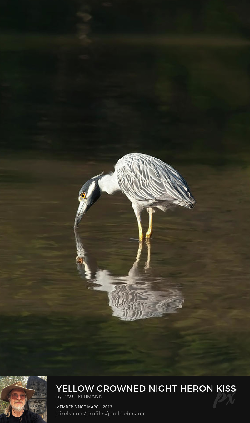 View online purchase options for  Yellow Crowned Night Heron Kiss the Water #1 by Paul Rebmann