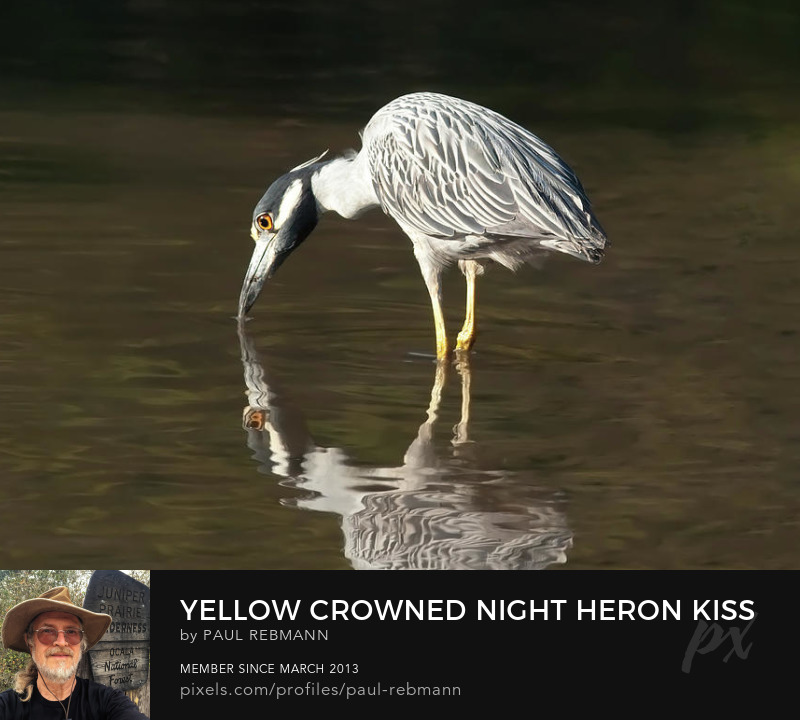 View online purchase options for  Yellow Crowned Night Heron Kiss the Water #2 by Paul Rebmann