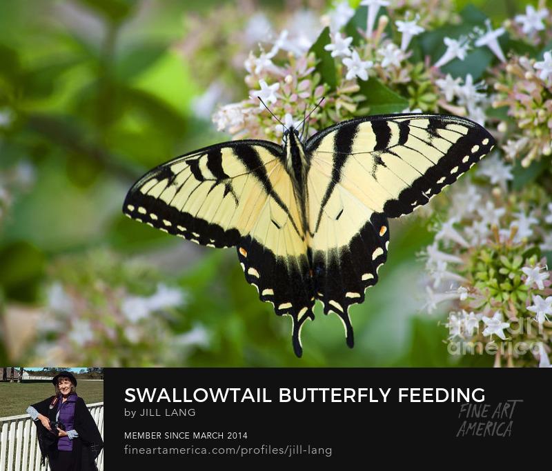 Swallowtail on Chinese Abelia