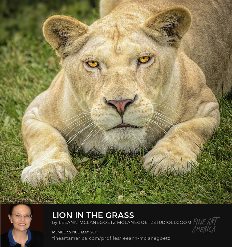 McLaneGoetzStudioLLC.com Lion In the Grass Imlay City Michigan