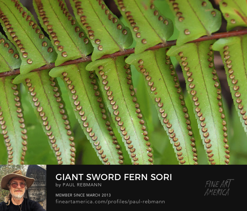 Purchase Giant Sword Fern Sori by Paul Rebmann