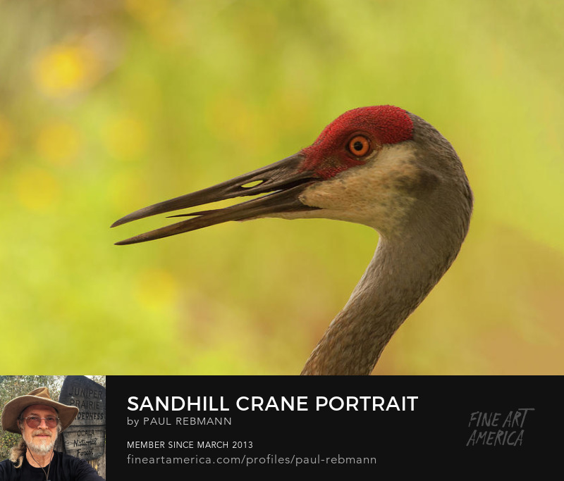 View online purchase options for Sandhill Crane Portrait by Paul Rebmann