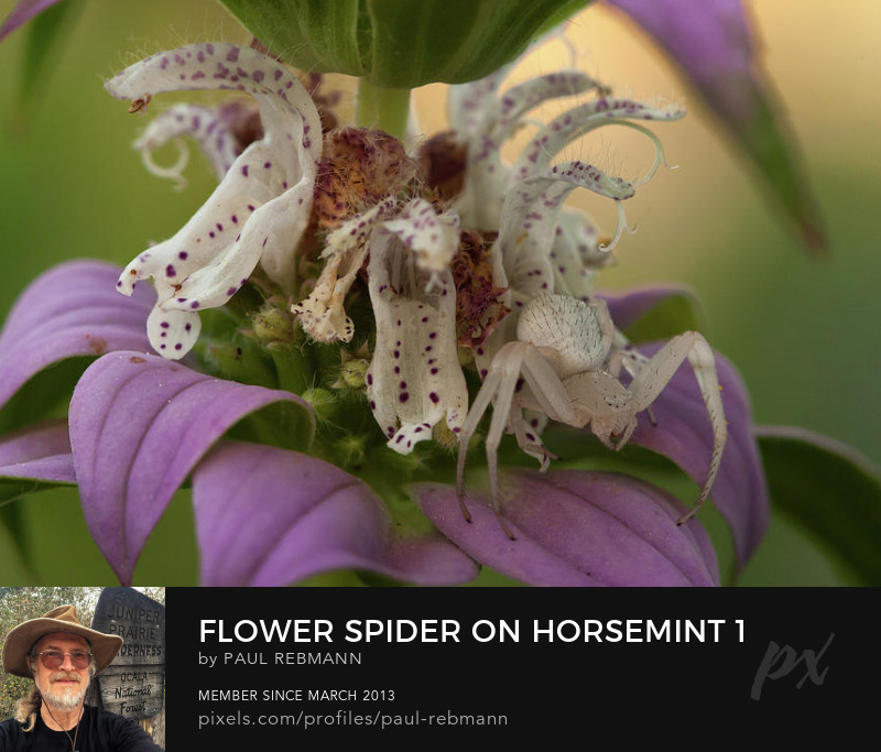 View online purchase options for  Flower Spider on Horsemint #1 by Paul Rebmann
