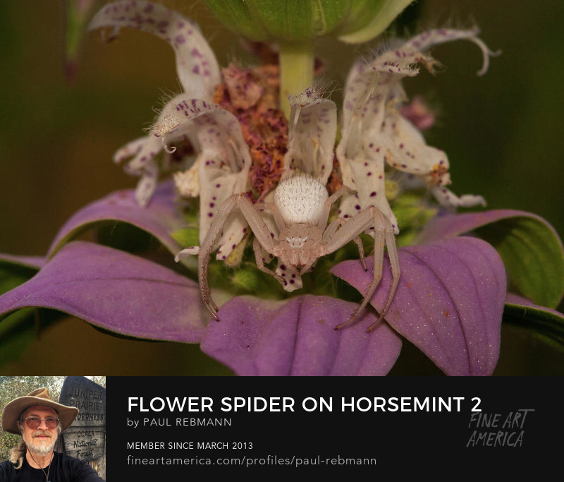 View online purchase options for  Flower Spider on Horsemint #2 by Paul Rebmann