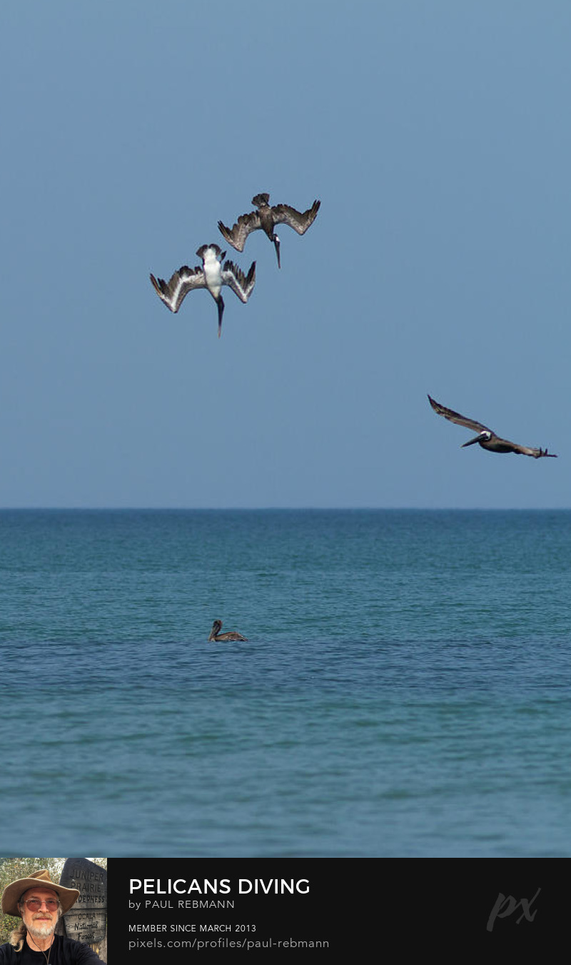 View online purchase options for Pelicans Diving by Paul Rebmann