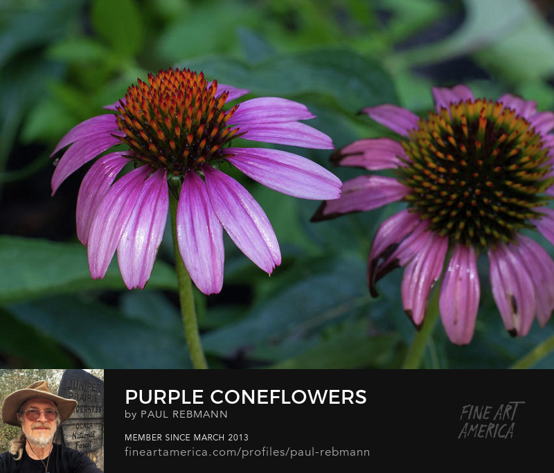 View online purchase options for Purple Coneflowers by Paul Rebmann