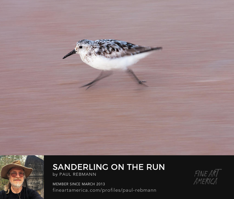 View online purchase options for Sanderling On The Run by Paul Rebmann