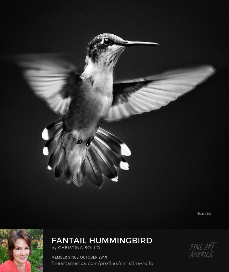 Fantail Hummingbird Photography Prints for Sale