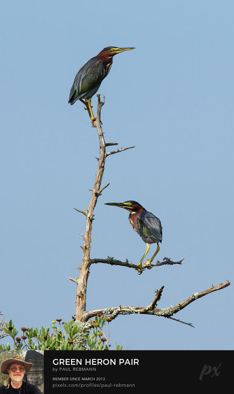 View online purchase options for Green Heron Pair by Paul Rebmann