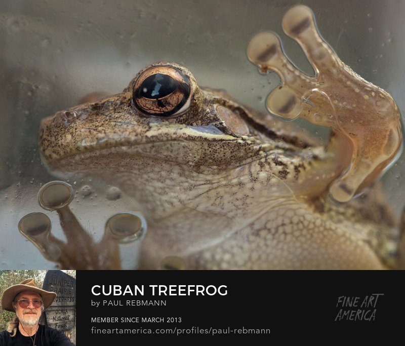 View online purchase options for Cuban Treefrog by Paul Rebmann