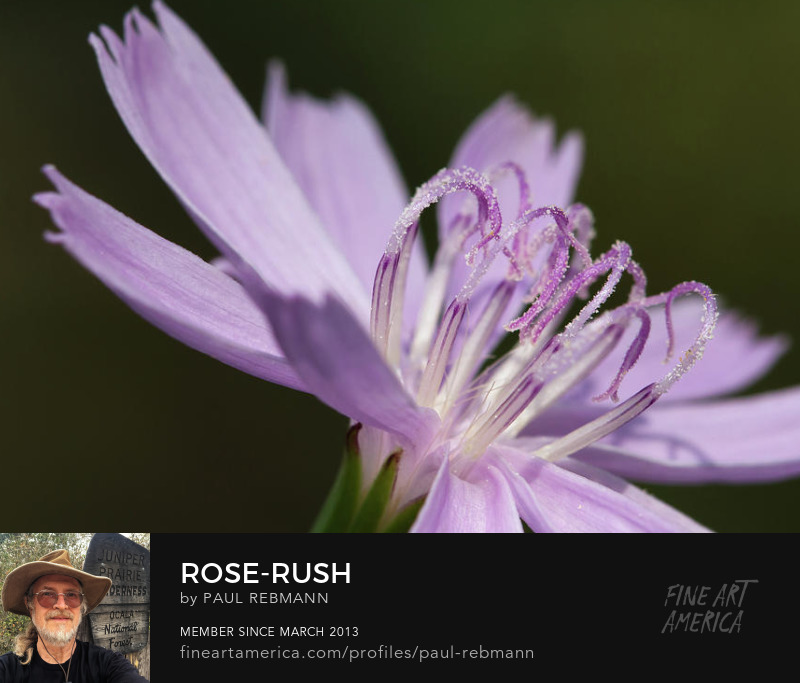 View online purchase options for Rose-Rush by Paul Rebmann