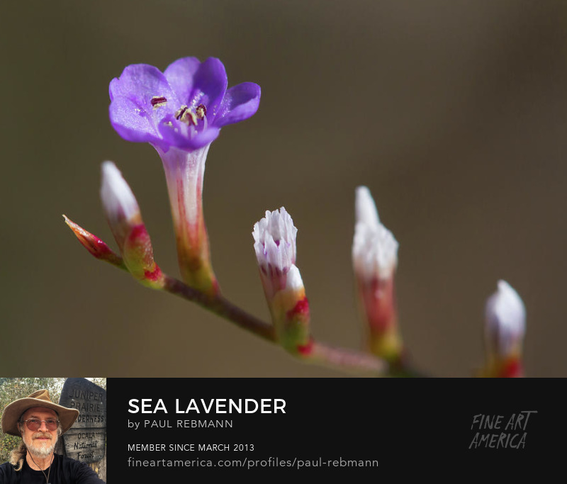 View online purchase options for Sea Lavender by Paul Rebmann
