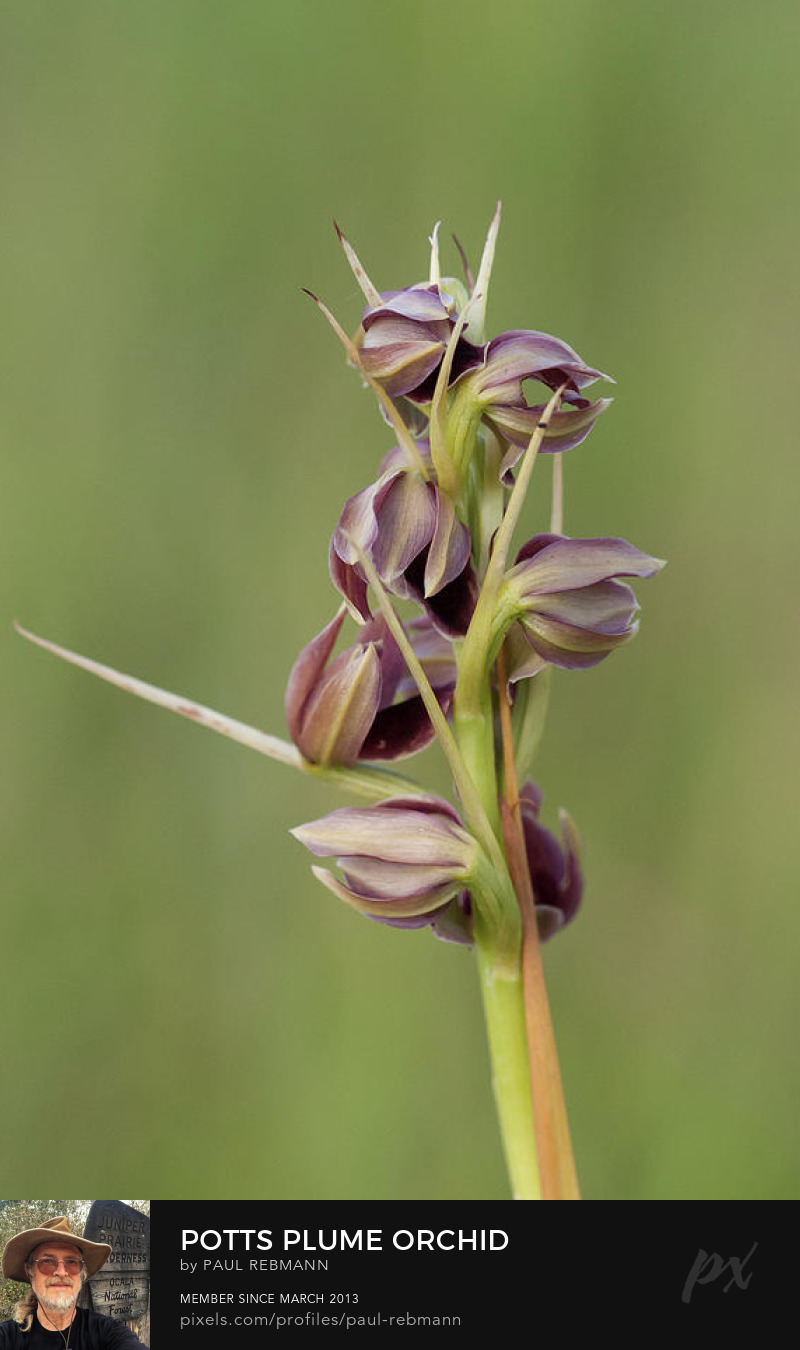 View online purchase options for Potts' Plume Orchid by Paul Rebmann