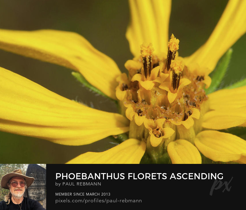 View online purchase options for Phoebanthus Florets Ascending by Paul Rebmann
