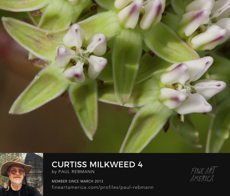 View online purchase options for Curtiss' Milkweed #4 by Paul Rebmann