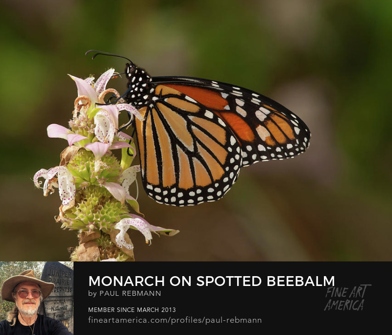 View online purchase options for Monarch on Spotted Beebalm by Paul Rebmann