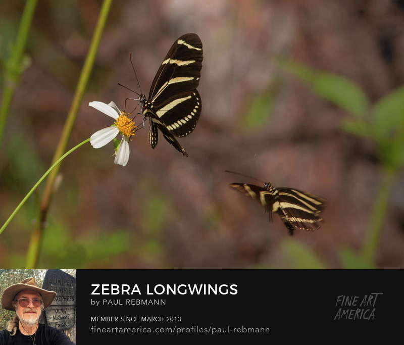 View online purchase options for Zebra Longwings by Paul Rebmann