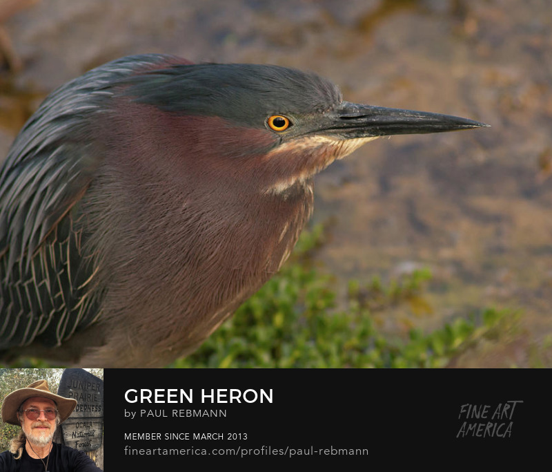 View online purchase options for Green Heron by Paul Rebmann