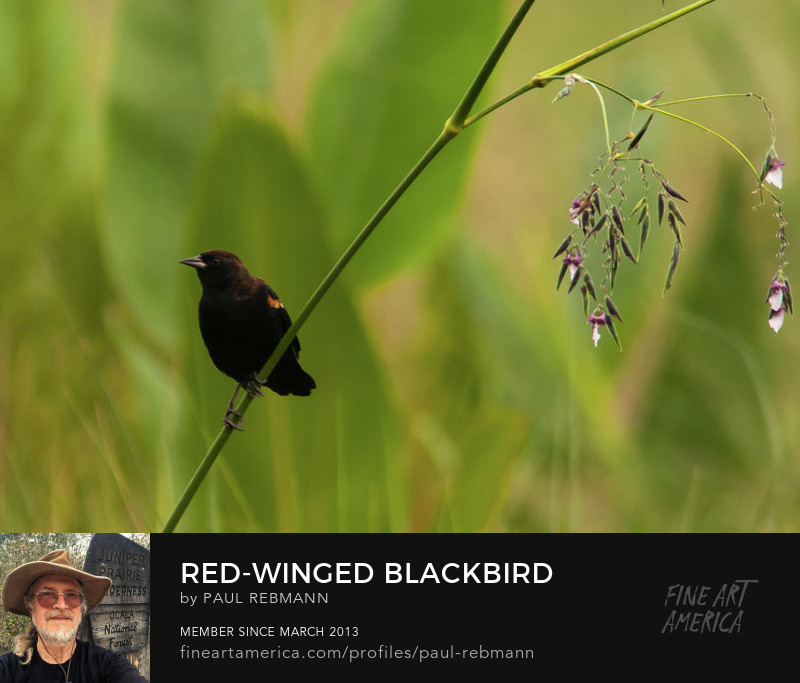 View online purchase options for Red-winged Blackbird on Alligator Flag by Paul Rebmann