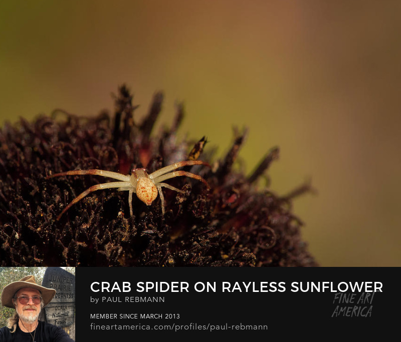View online purchase options for  Crab Spider on Rayless Sunflower by Paul Rebmann
