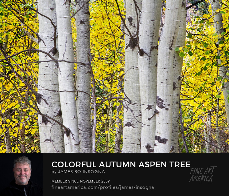 Colorful Autumn Aspen Tree Colonies Art Prints