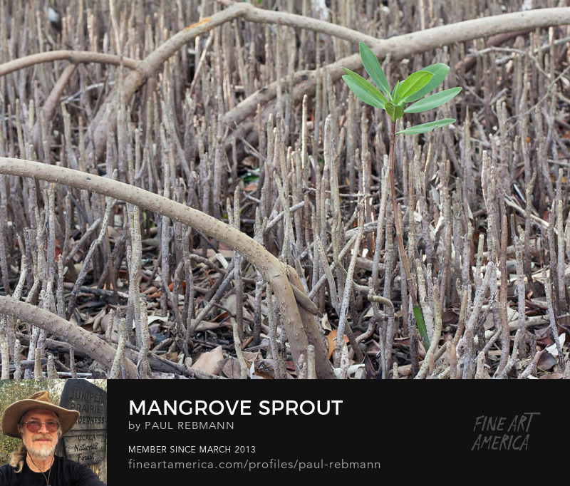 View online purchase options for Mangrove Sprout by Paul Rebmann