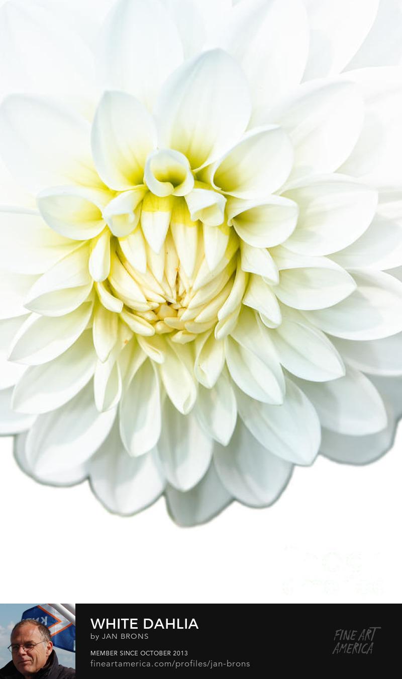 White Dahlia Featured Image - Art Prints