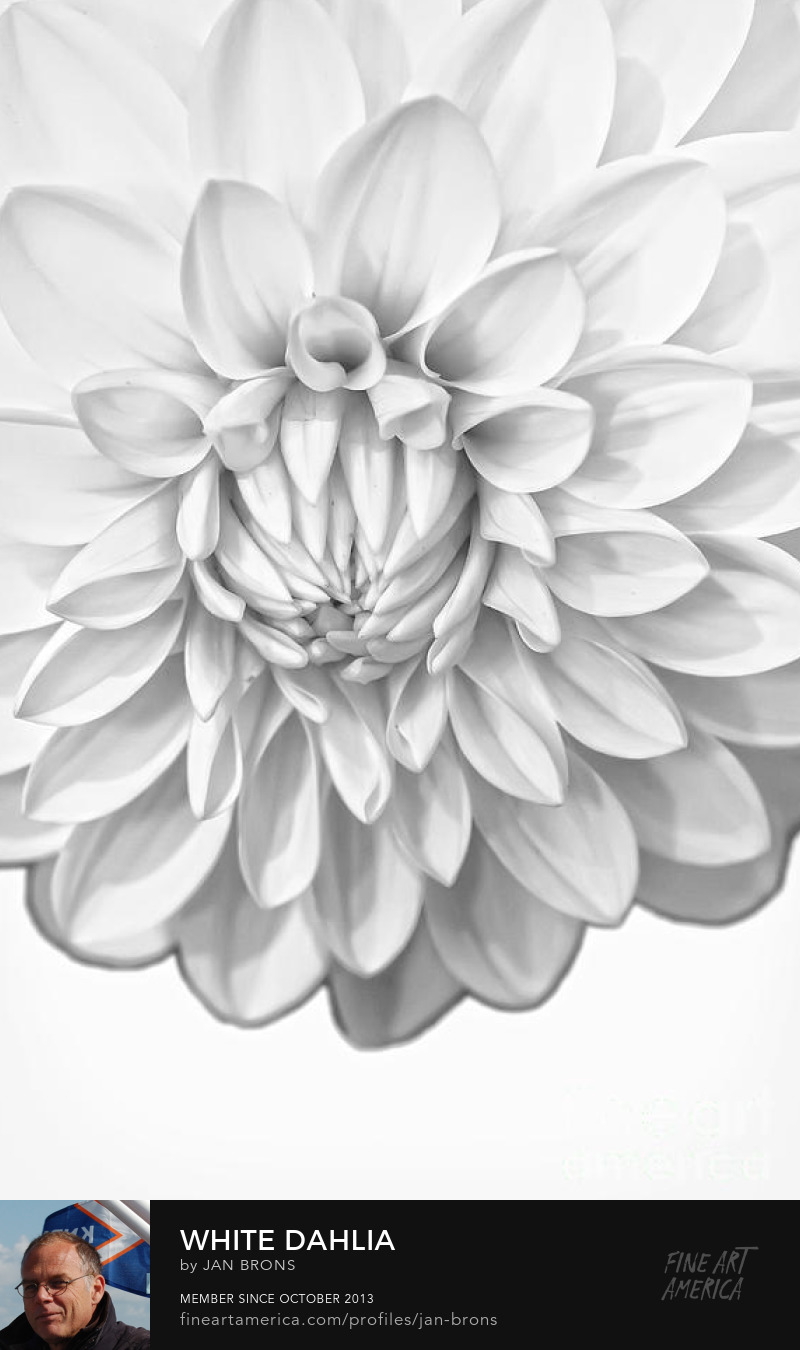 White Dahlia Featured Image - Photography Prints