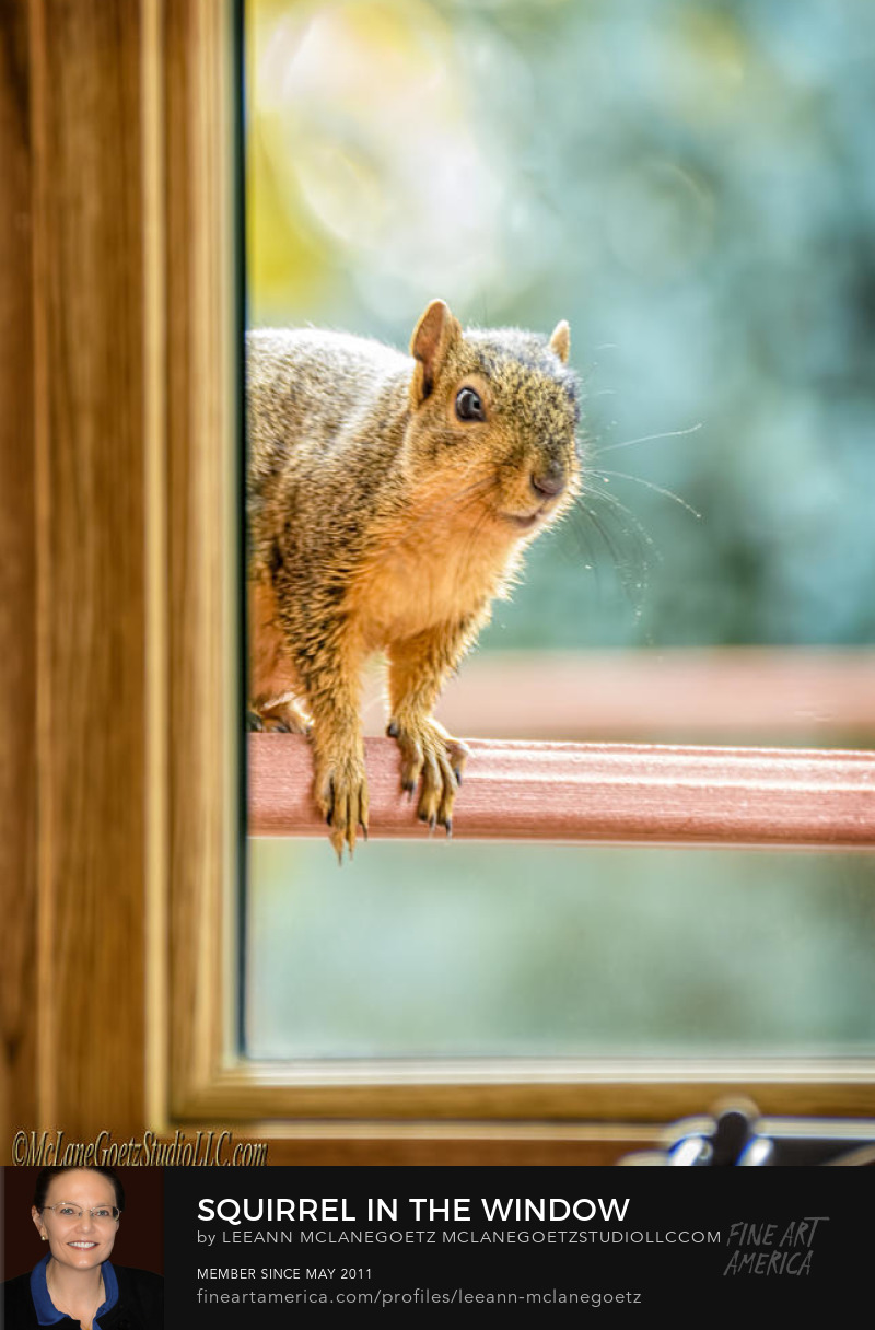 McLaneGoetzStudioLLC.com Squirrel in the Window Washington Michigan