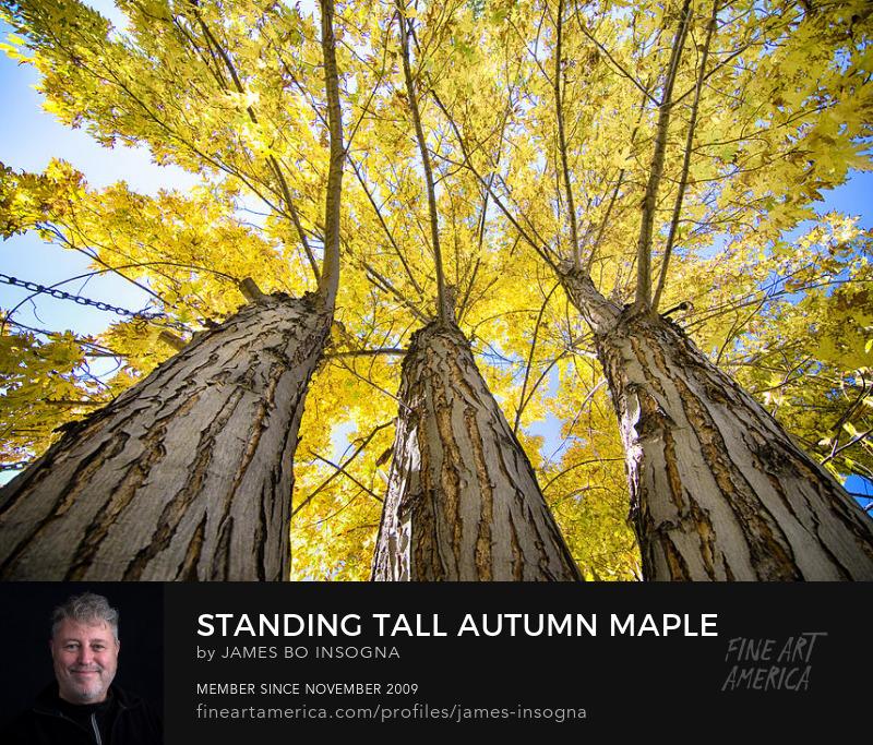 Standing Tall Autumn Maple Art