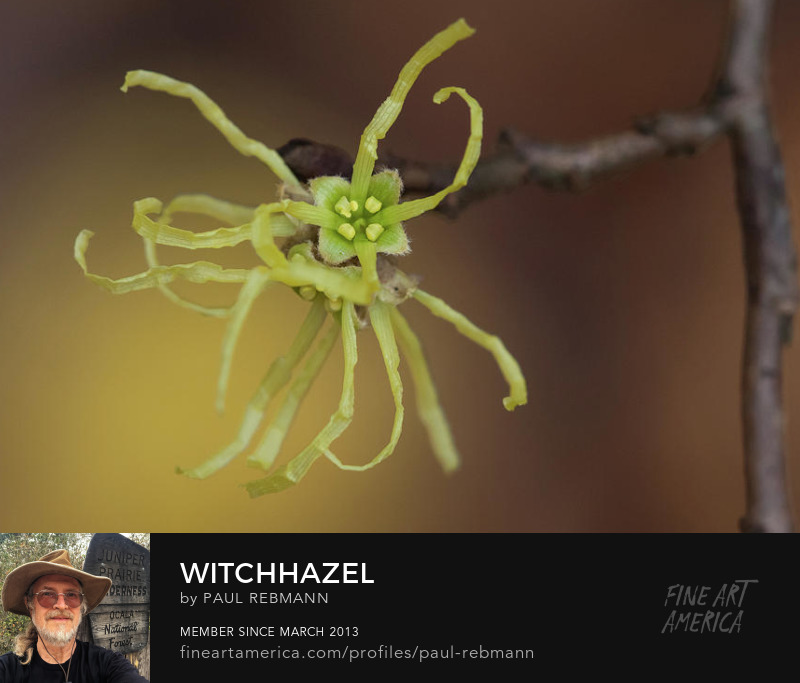 View online purchase options for Witchhazel by Paul Rebmann