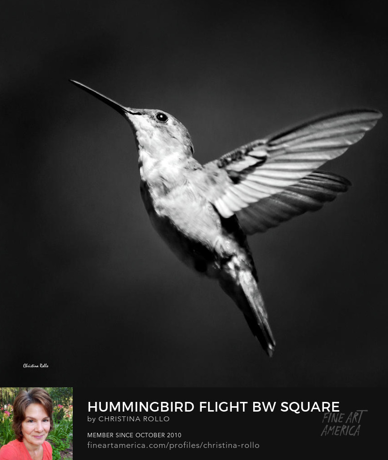 Hummingbird Flight Bw Square Art Prints for Sale