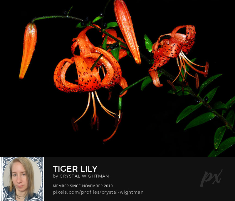 A beautiful orange and black tiger lily flower.