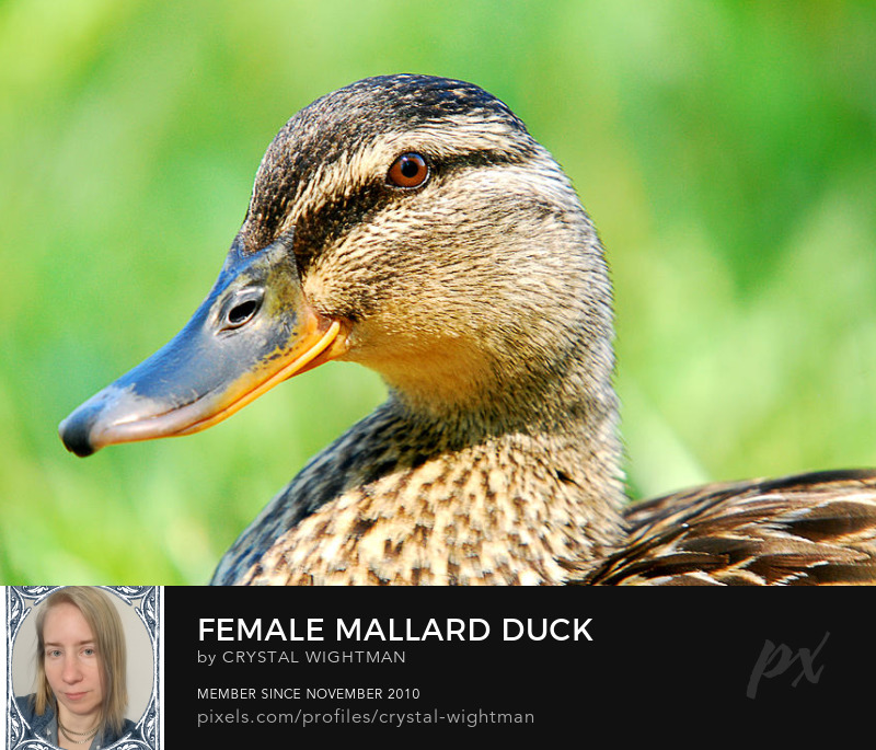 Duck photo of a female mallard portrait.