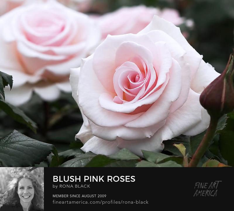 Blush Pink Roses � Rona Black