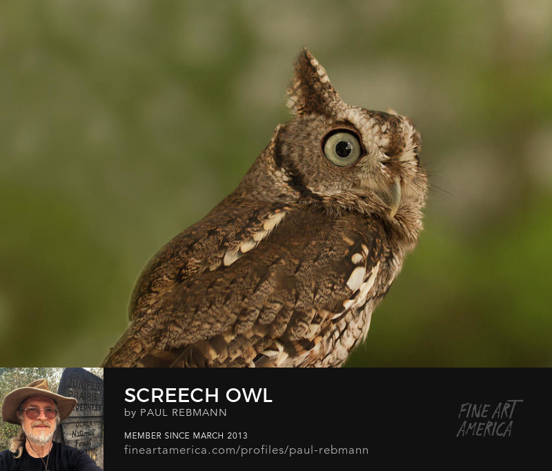 View online purchase options for Screech Owl by Paul Rebmann