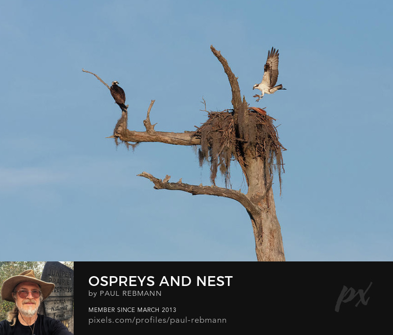 View online purchase options for Ospreys and Nest by Paul Rebmann