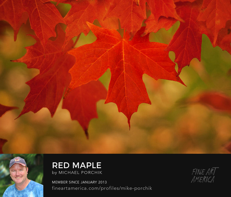 Red Maple by Michael Porchik