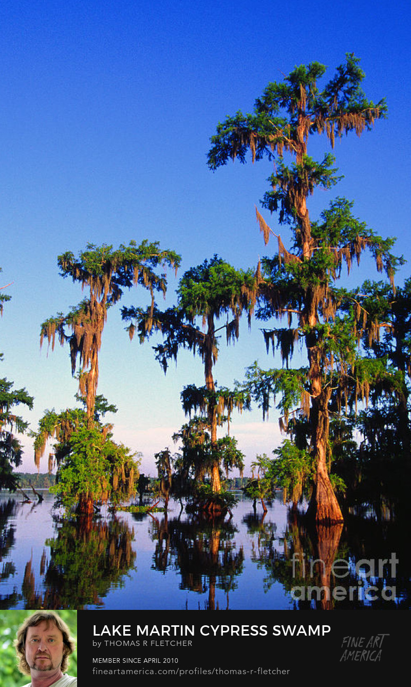 Cypress Trees Lake Martic
