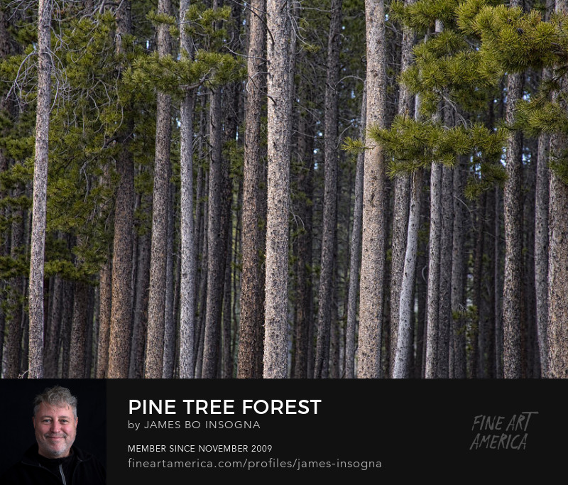 Pine Tree Forest Photography Prints
