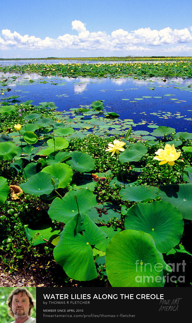 Sell Art Online Water Lillies Creole Trail