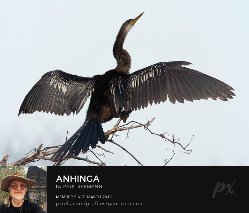 View online purchase options for Anhinga by Paul Rebmann