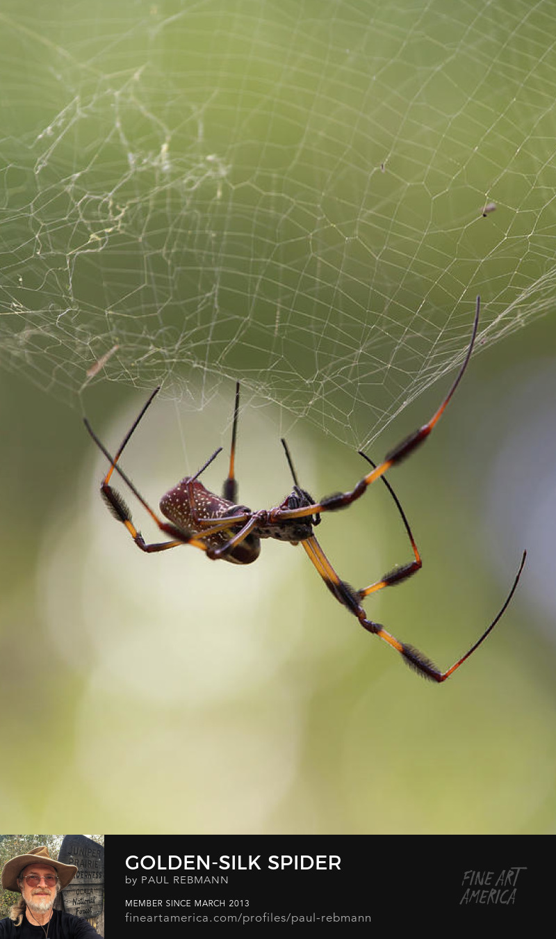 View online purchase options for Golden-Silk Spider by Paul Rebmann