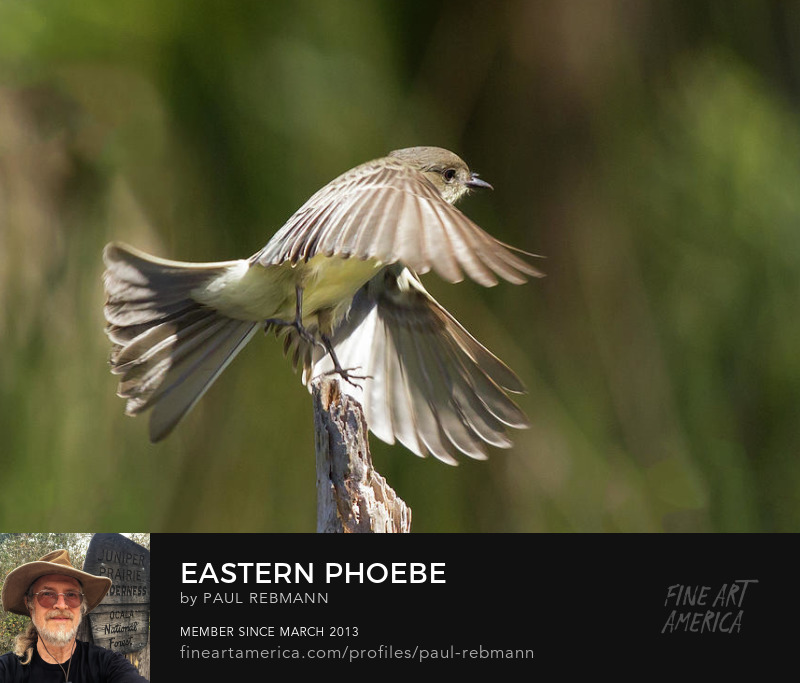 View online purchase options for Eastern Phoebe by Paul Rebmann