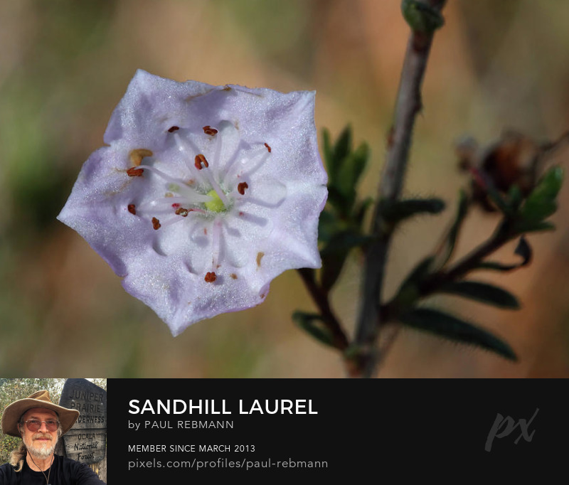 View online purchase options for Sandhill Laurel by Paul Rebmann